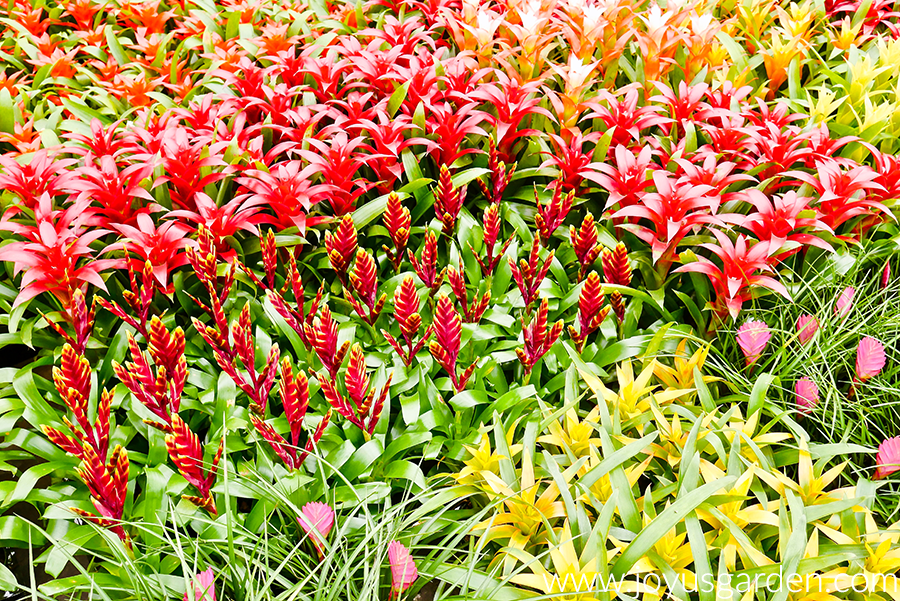 colorful bromeliads