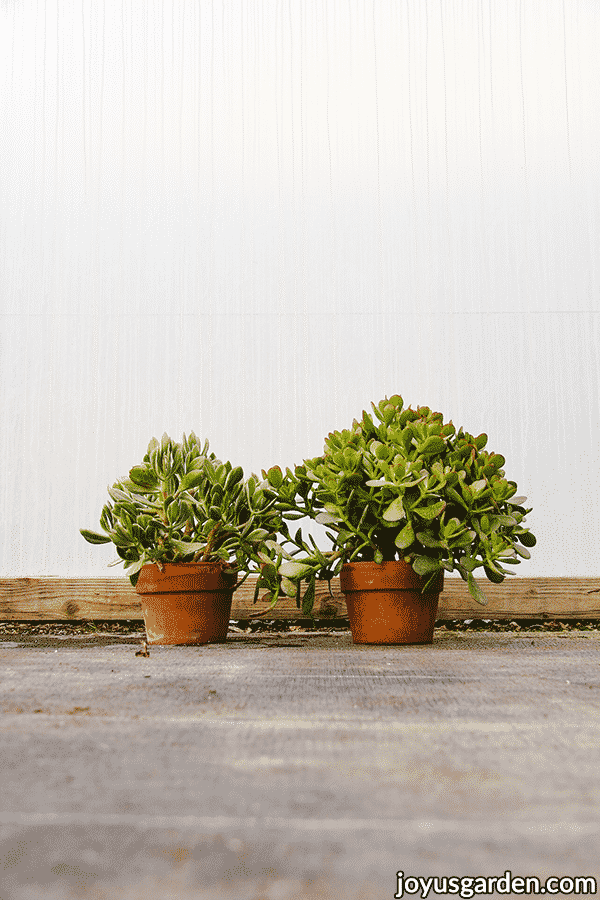 2 jade plants 1 with variegated foliage & 1 with solid foliage in terra cotta pots