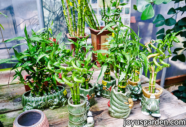 different forms of lucky bamboo plant arrangements in different pots for sale