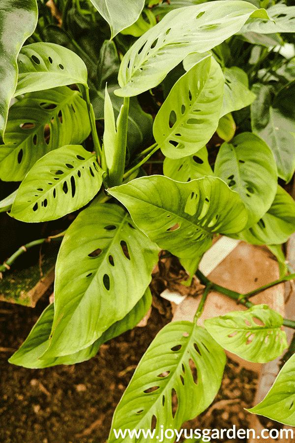 close up of a monstera adansonni swiss cheese vine