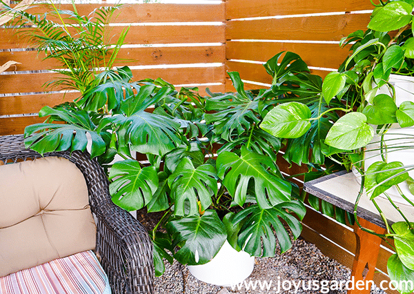 a large monstera deliciosa split leaf philodendron grows in a white pot on the floor