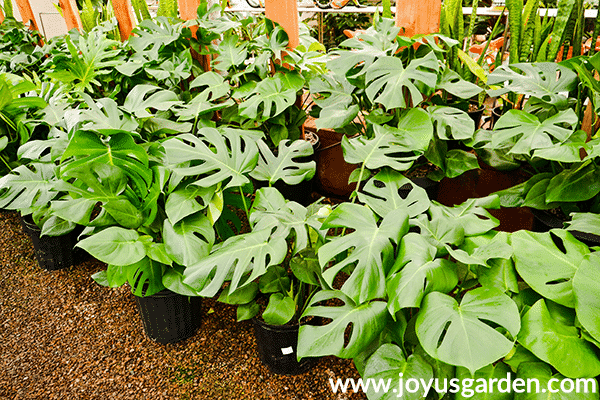 many monstera delicosas monsteras grow in a greenhouse