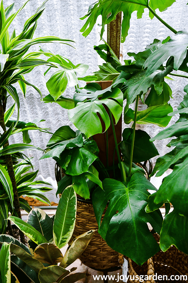 a monstera deliciosa swiss cheese plant grows up a piece of wood