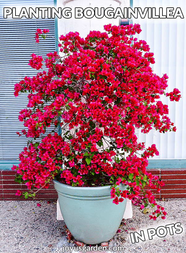 a red bougainvillea in full bloom grows in a light blue ceramic pot the text reads planting bougainvillea in pots