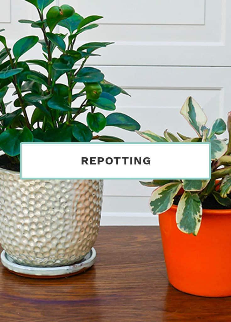Repotting