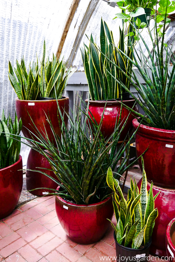 snake plants pictured in pots