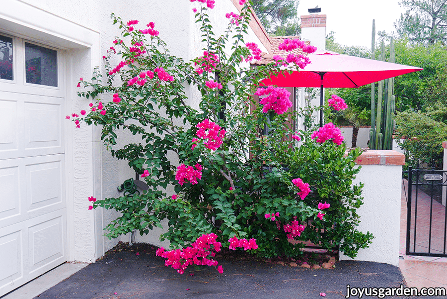 an airy shrub form bougainvillea barbara karst with a few deep pink flowers growing next to a driveway