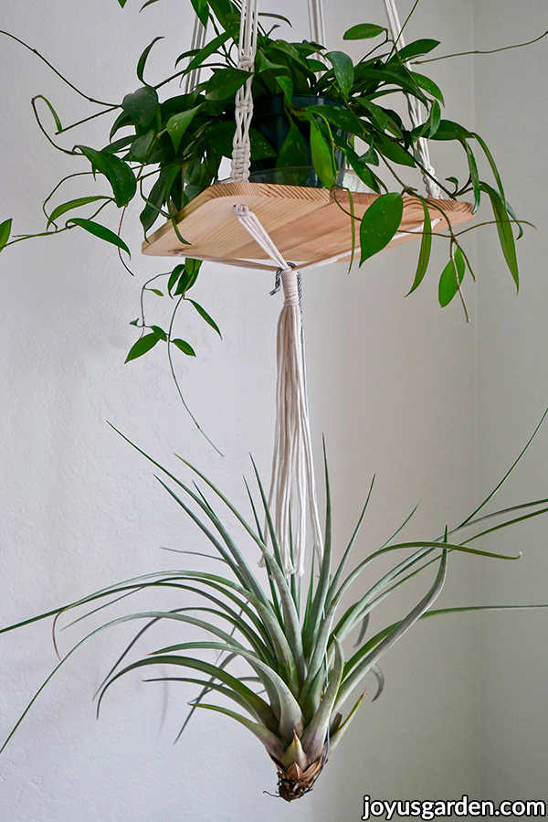 a large tillandsia fasciculata air plant hangs off a hanging shelf with a hoya on it