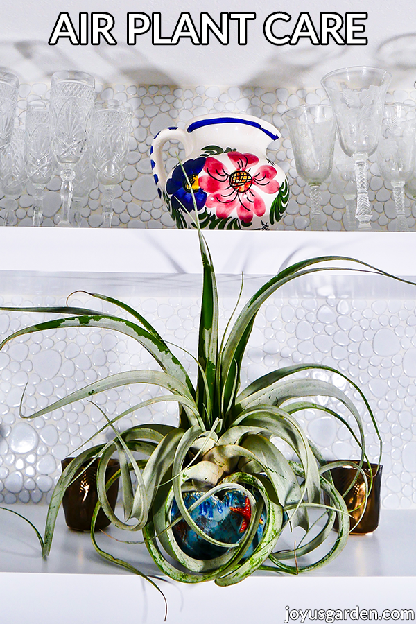 a tillandsia xerographica air plant in a ceramic dish sits on a white shelf