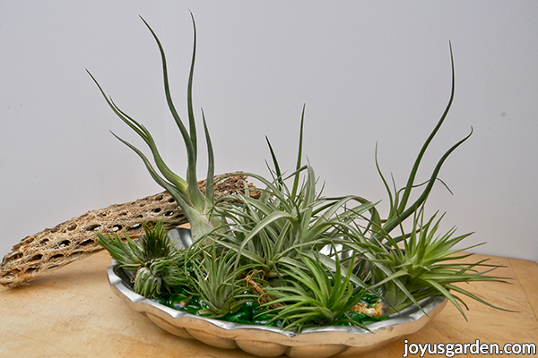 a variety of tillandsia air plants sit in a pewter tray with a piece of cholla wood resting on it