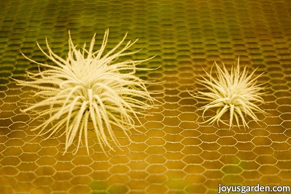 a pair of tillandsia tectorum air plants 1 smaller 1 larger