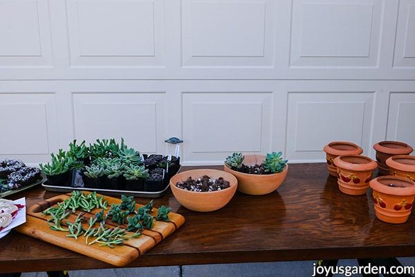 """terra cotta pots succulent cuttings & 2"""" succulent plants sit on a work table"""