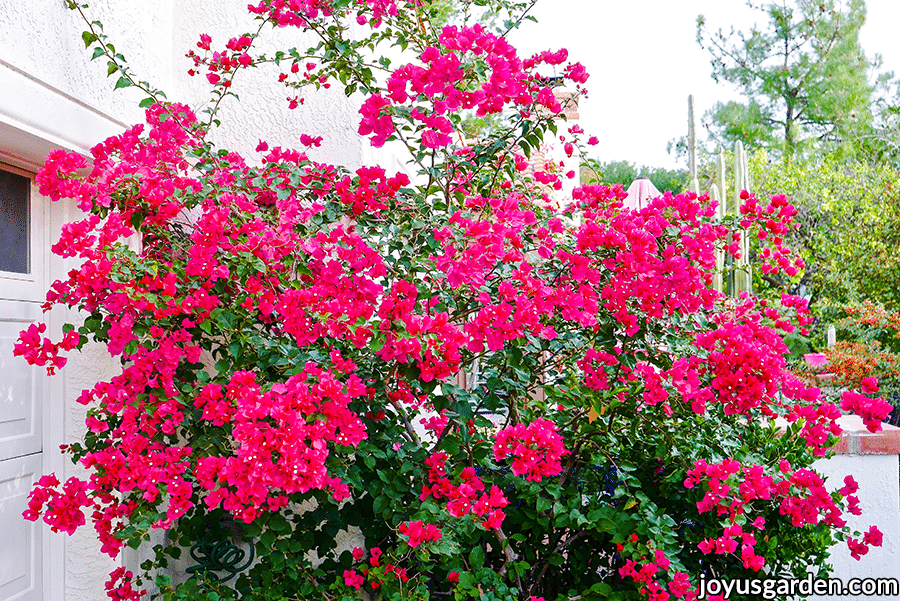 a shrub form bougainvillea barbara karst covered in deep pink flowers grows next to a driveway