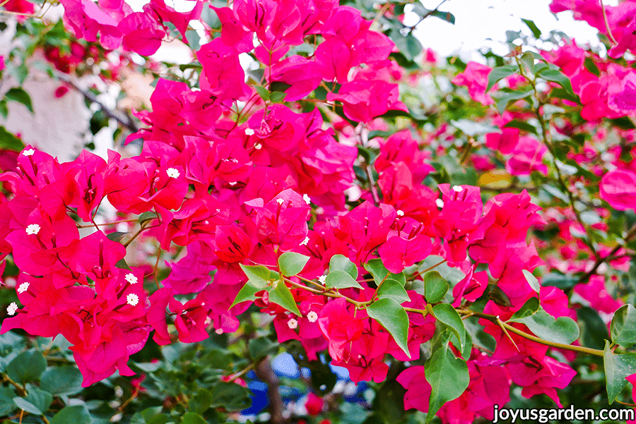 close up of vibrant deep pink bougainvillea barbara karst flowers