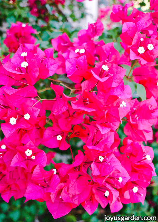 close up of deep pink bougainvillea barbara karst flowers