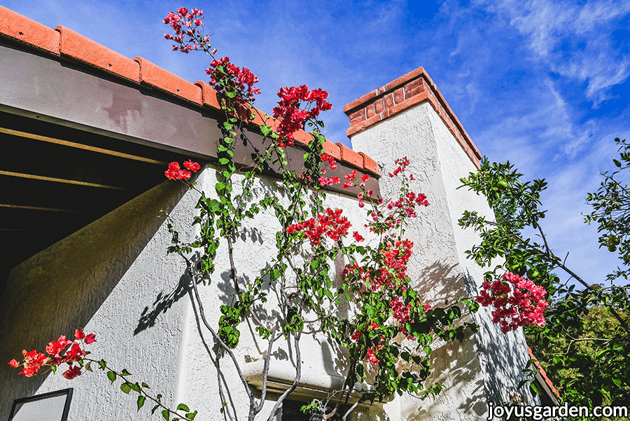 a bougainvillea with orange/pink flowers grows over the roof line of a white house