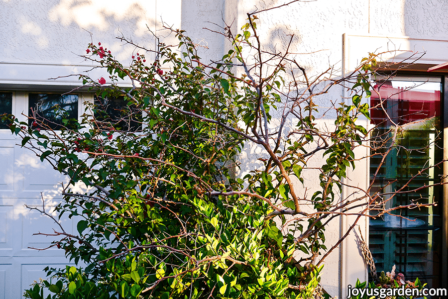 a bougainvillea with many dead looking branches hit by a freeze