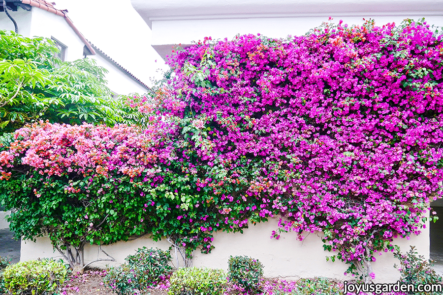 light pink & purple/pink bougainvilleas in full bloom growing against a wall