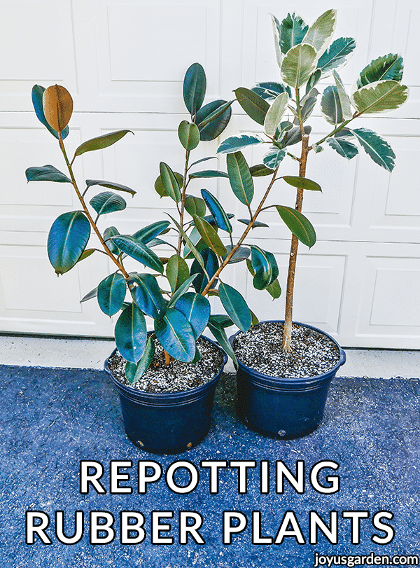 2 large rubber plants ficus elasticas in large grow pots the text reads repotting rubber plants