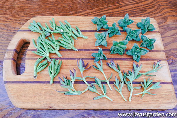 a variety of succulent cuttings sit on a wooden cutting board