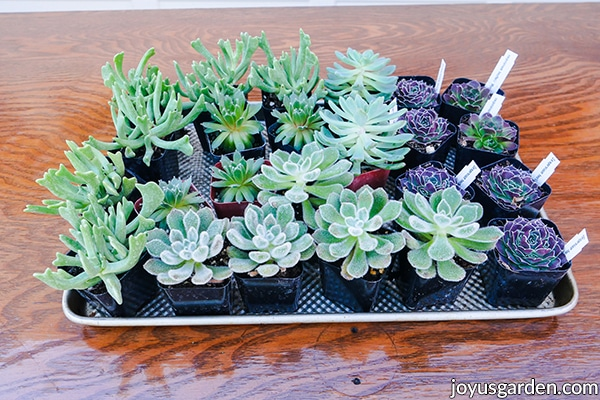"""a tray full of mixed succulents in 2"""" pots"""