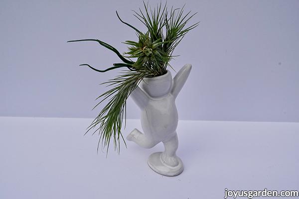 3 small tillandsia air plants in a white ceramic holder