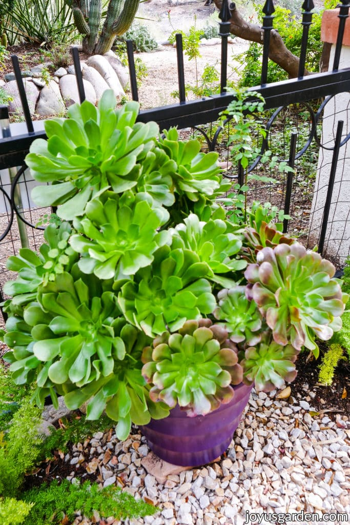a planting of large aeonium succulents grows in a purple pot