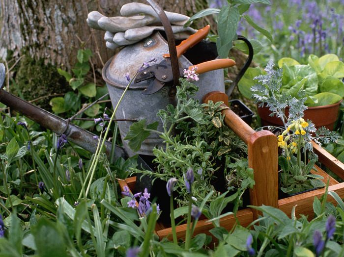 a watering can gloves pruners & a wooden basket sit amongst herbs in a kitchen herb garden