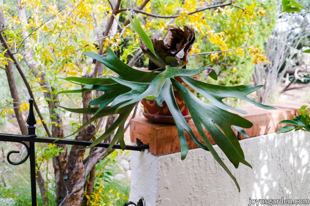 a staghorn fern in a pot growing in the desert sits on a wall
