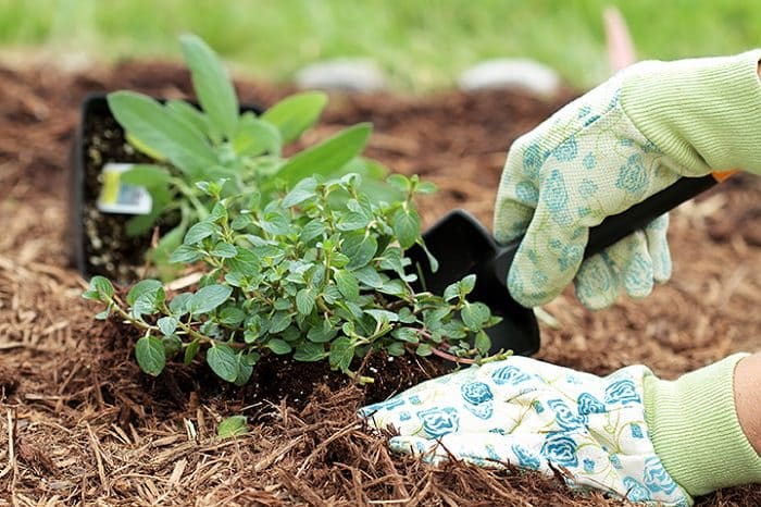 2 hands with gloves are planting herbs with a trowel in the garden