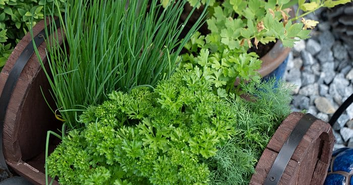 close up of parsley chives & dill herb plants in a small barrel