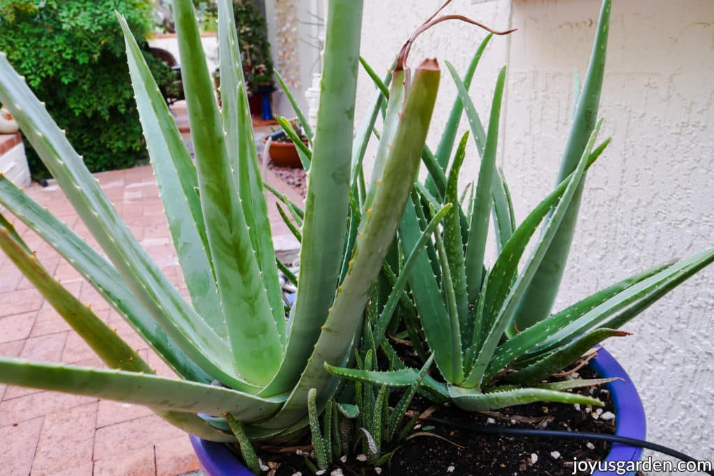 a planting of large aloe vera plants growing outdoors