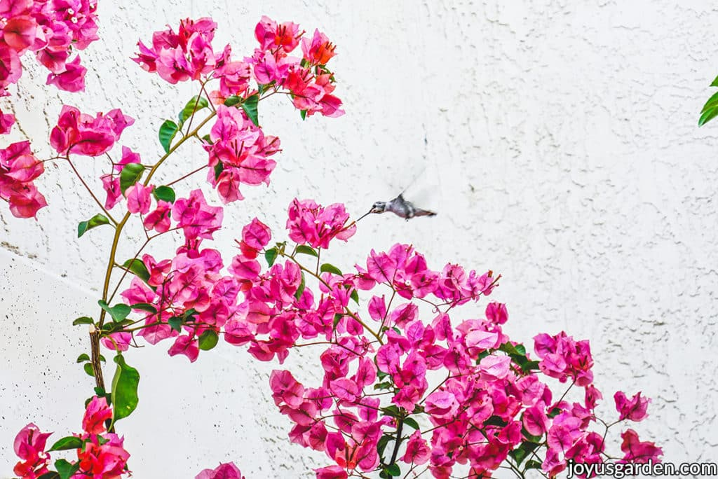 a hummingbird drinks off a flower of a pink bougainvillea in full bloom