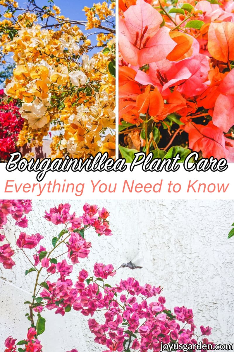 a collage with 3 different colors of bougainvillea the text reads bougainvillea plant care everything you need to know