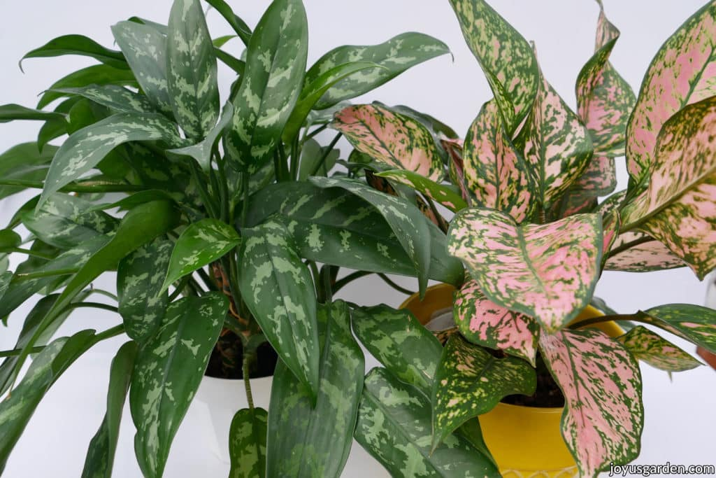 2 chinese evergreen aglaonema plants 1 with green foliage & the other with  pink & green foliage