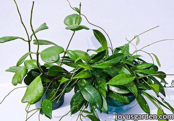 a sweetheart hoya plant & a hoya carnosa plant sit side by side