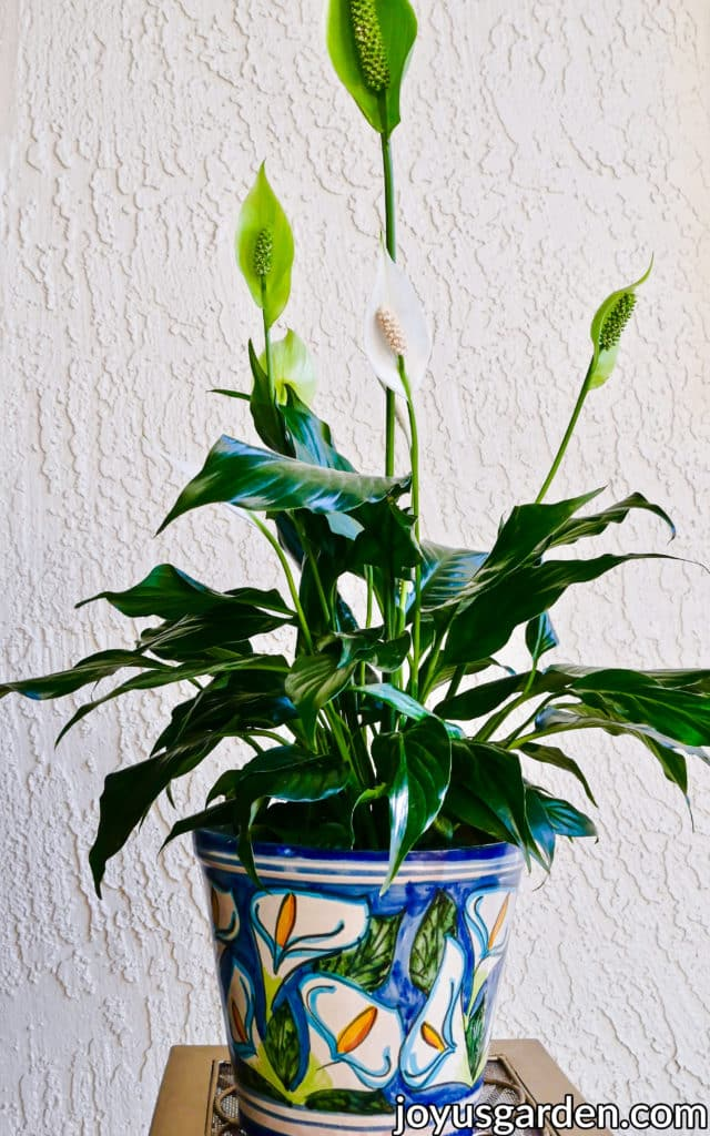 a peace lily spathiphyllum with white & green flowers in a patterned pot