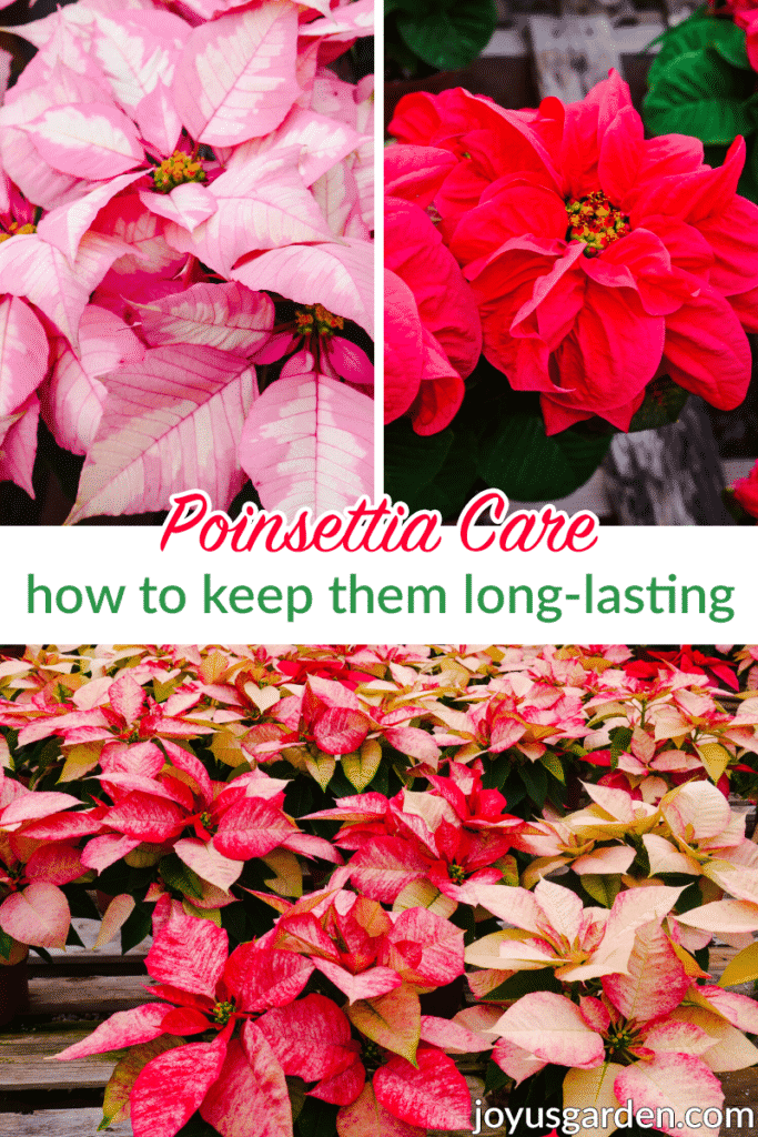 a collage with pink, red & variegated poinsettias the text reads poinsettia care how to keep them long lasting