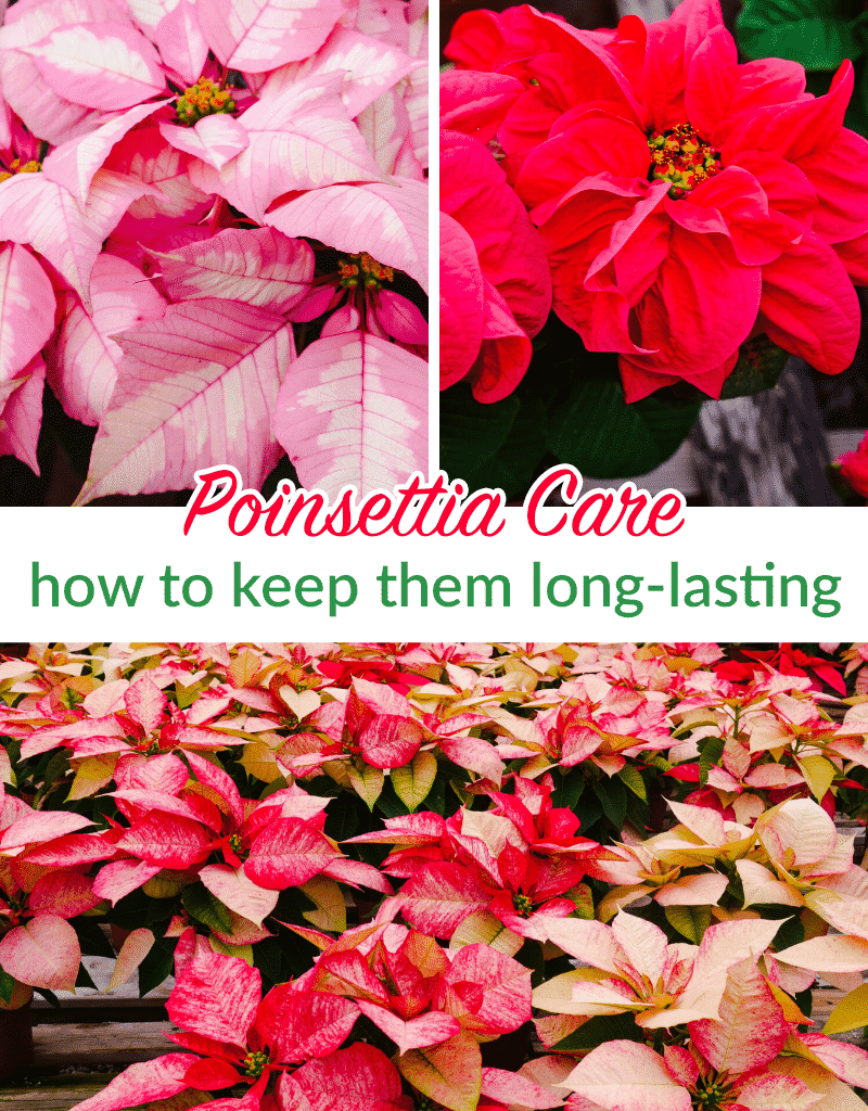 How to Pick the Perfect Poinsettia & Make It Last