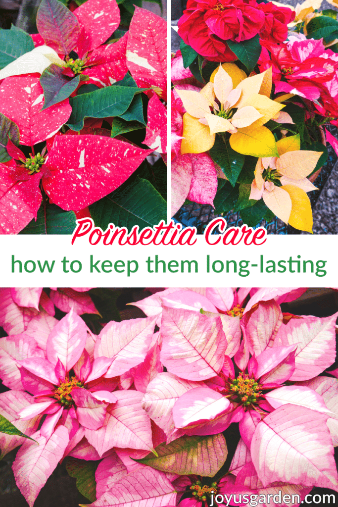 a collage with 4 different varieties of poinsettias the text reads poinsettia care how to keep them long-lasting