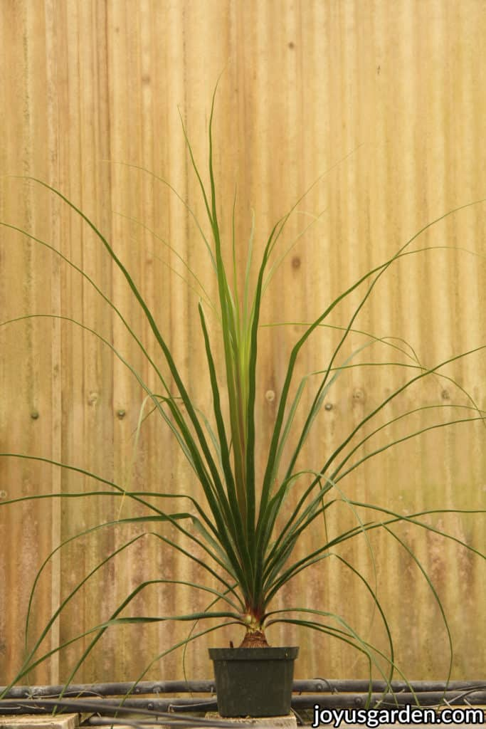 "a small ponytail palm plant in a 6"" green grow pot"