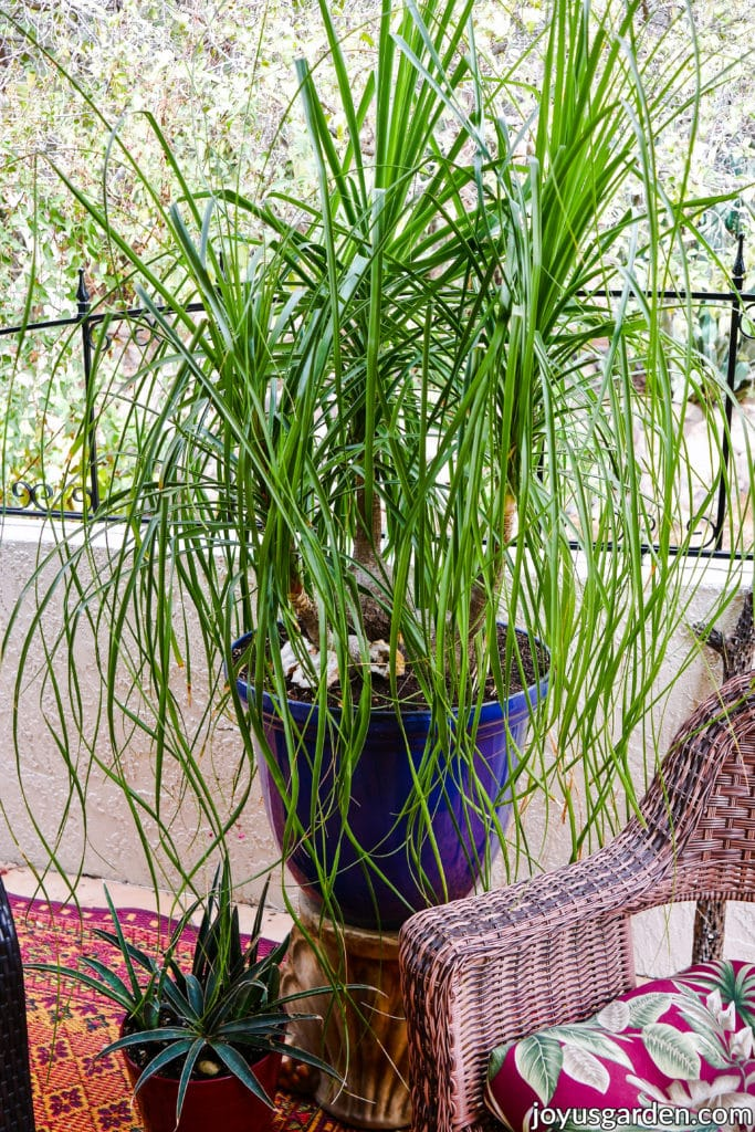 a large ponytail palm with 3 stems grows in a large blue pot on a pedestal