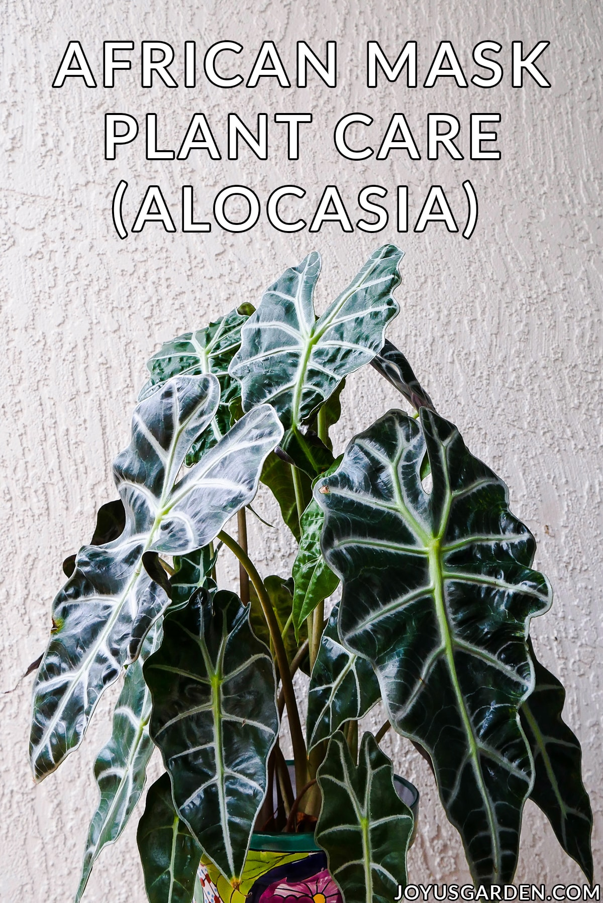 close up of an african mask plant the text reads african mask plant care alocasia