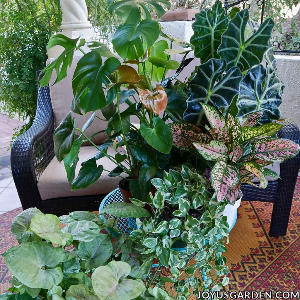 The African Mask Plant (Alocasia) is a stunning houseplant coveted for its gorgeous foliage. But, it can be tricky to grow indoors. These African Mask Plant care tips will help you out. joyusgarden.com #africanmaskplant #africanmaskplantcare #alocasiahouseplant #exotichouseplants #alocasiapolly #hosueplantcare