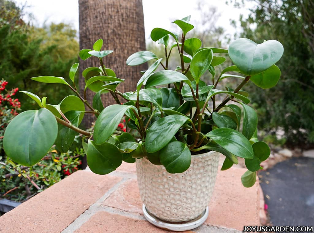 a glossy green baby rubber plant in a white ceramic sits on a brick column outdoors