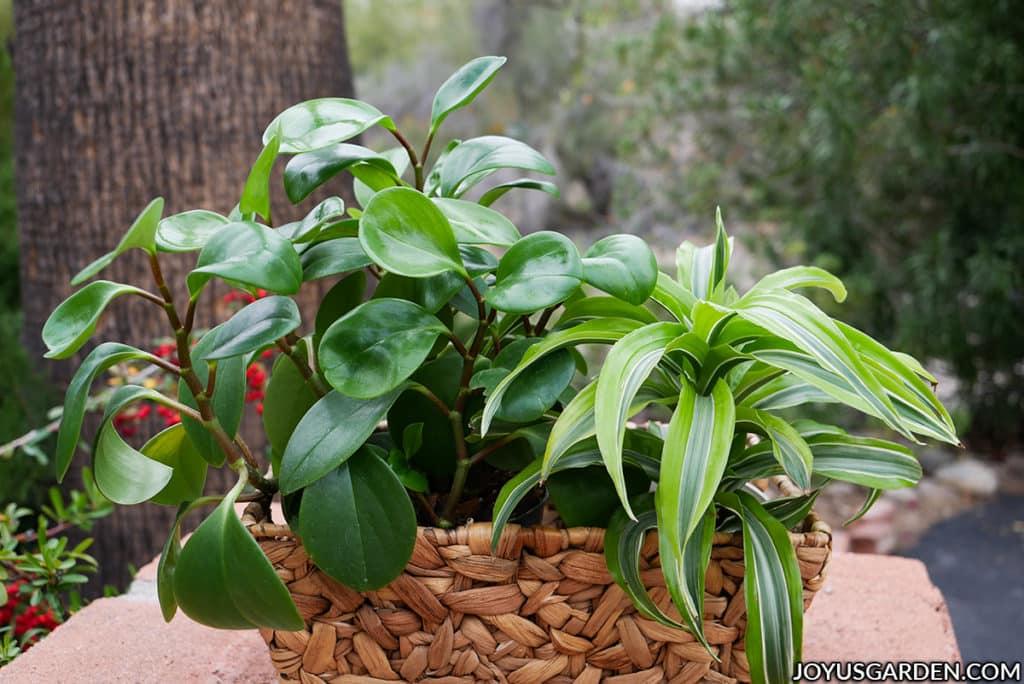 a baby rubber plant & a dracaena lemon surprise grow in a rectangular basket