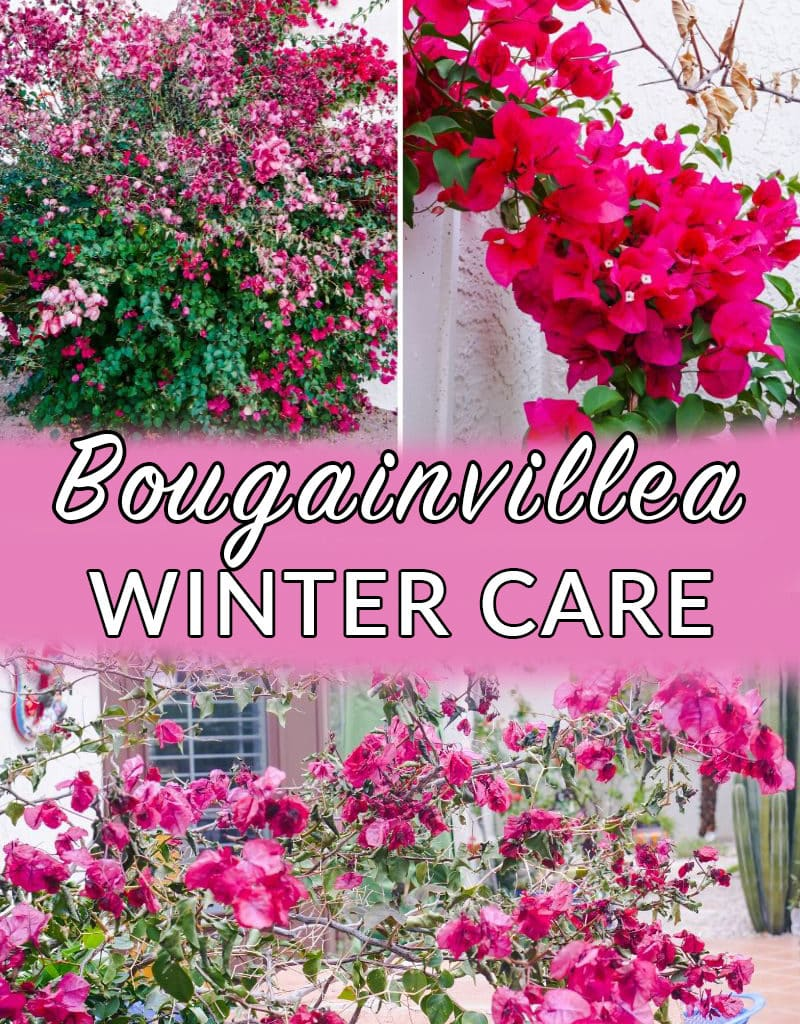 a collage showing 3 photos of bougainvillea in winter the text reads bougainvillea winter care