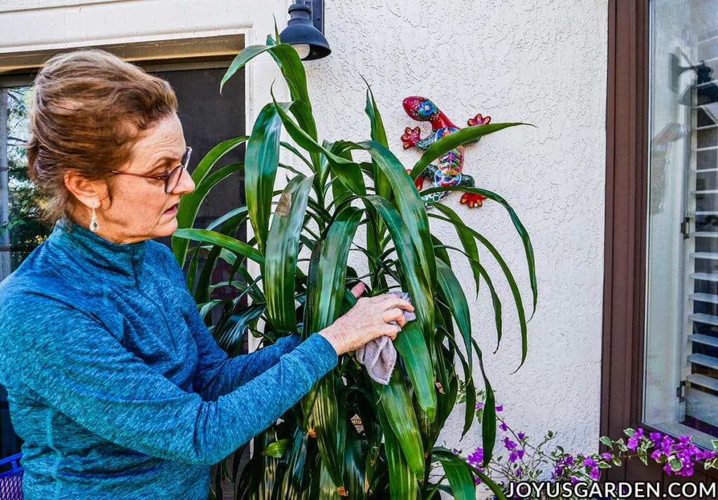 nell foster cleans the leaves of a dracaena lisa houseplant