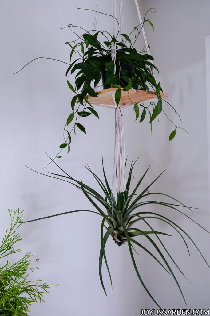 a small shelf with a plant on it hangs from the ceiling with a large air plant hanging off of it