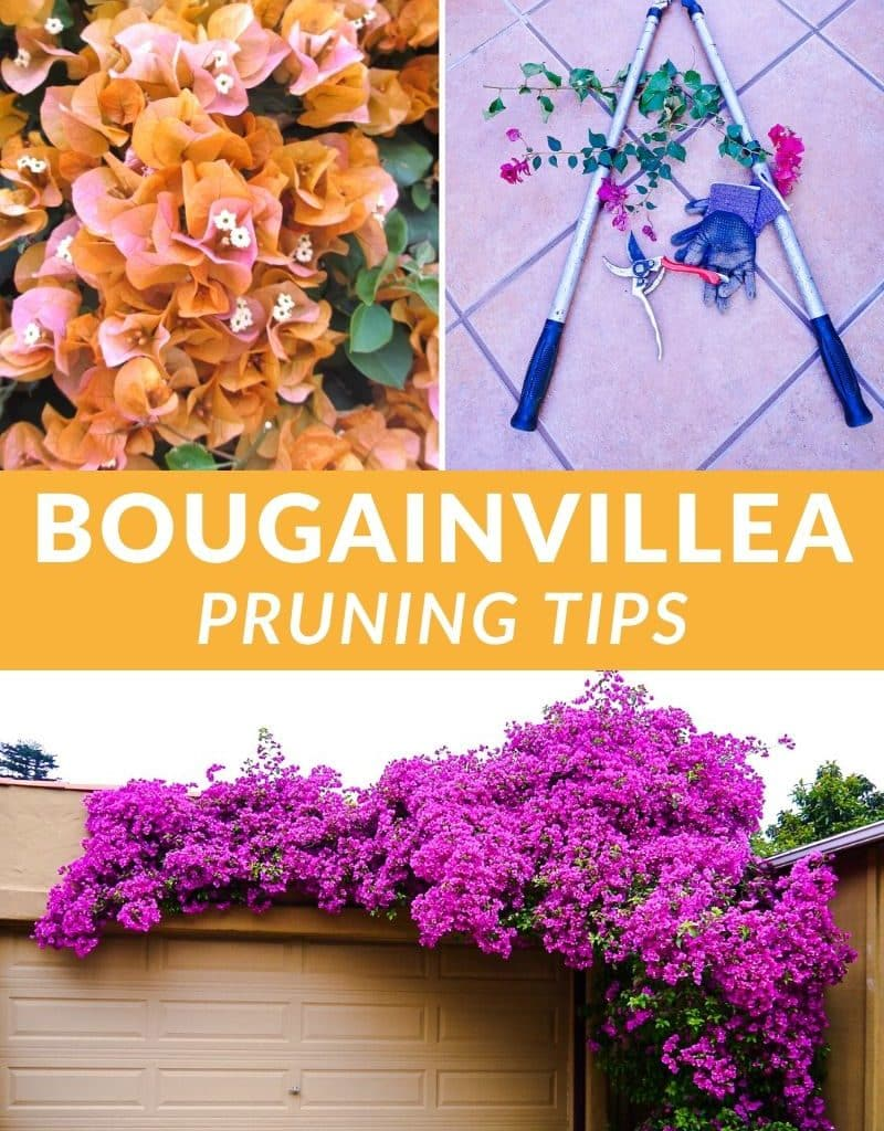 a collage with 2 different bougainvilleas in full bloom & 2 types of pruners & gloves the text reads bougainvillea pruning tips